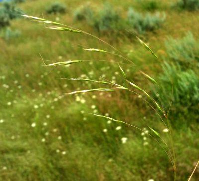 Image of seed heads of ventenata