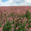UW Extension publication examines sainfoin weed control