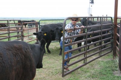 Man opening metal gate to let cattle through.