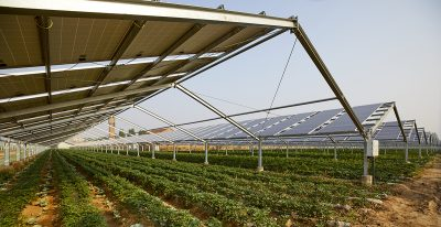 Solar panels in a field with a low crop growing underneath.