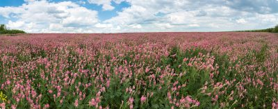 Field of pink flowers with feathery green leaves.