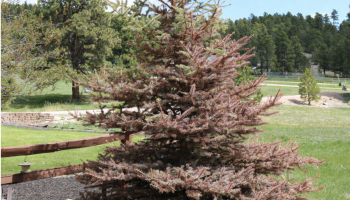 UW Extension publication explains spruce tree winter injuries