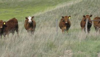 Local ranchers can be sources for meat