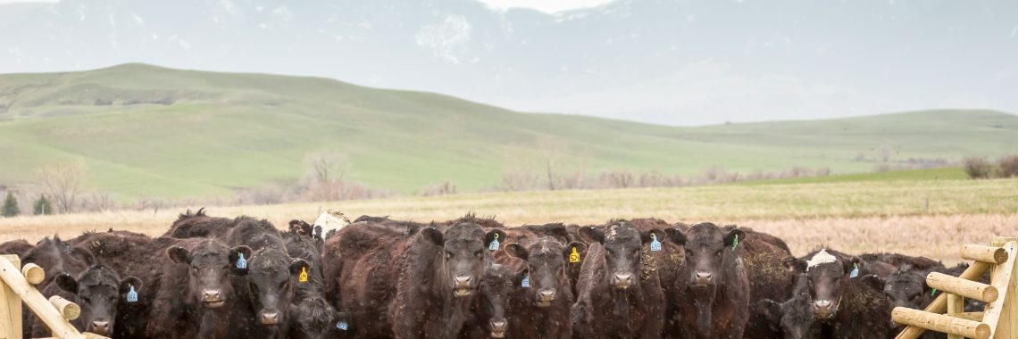 Black cows on dirt road behind cattle guard.