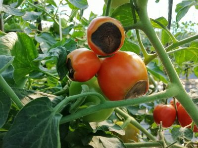 black-bottomed red tomatoes on the vine