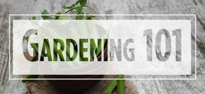 """Text """"gardening 101"""" over image of peas in a basket"""