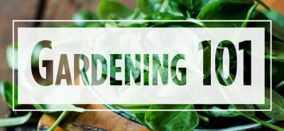 """Text """"Gardening 101"""" over image of spinach in a bowl"""
