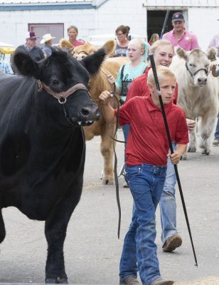 Boy leading steer