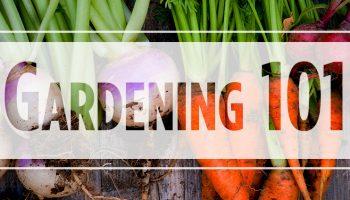 Gardening 101: Root Vegetables