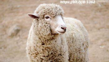 UW Extension publication details sheep phosphorus considerations
