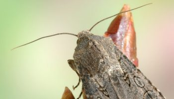 Miller moths are back from their summer mountain vacation