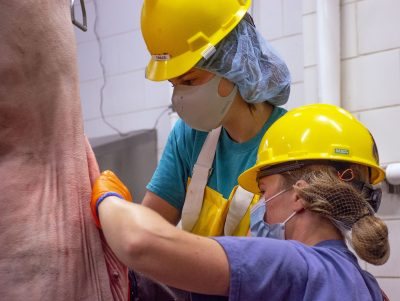 Two people in hard hats, masks, hairnets, gloves harvesting an animal