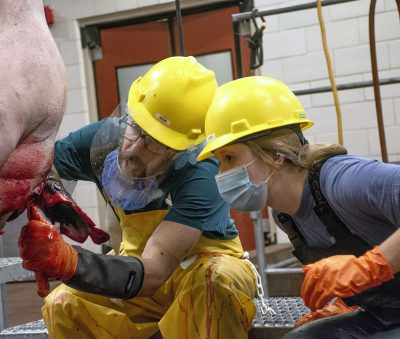 Two people in hard hat, gloves, mask, coveralls harvesting an animal