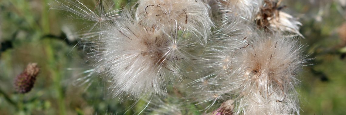 Fuzzy white seed head at then end of a stem.