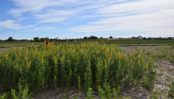 Sunn hemp could be viable alternative to alfalfa or substitution in event of crop failure