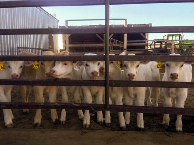 7 white calves behind fence.