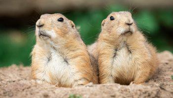Prairie dogs – Keystone species or calamity?