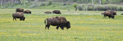 shaggy bison grazing in green grass and dandelion field
