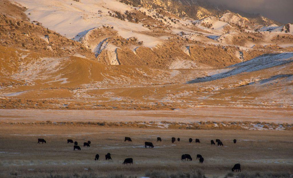 Cattle graze near Muddy Gap