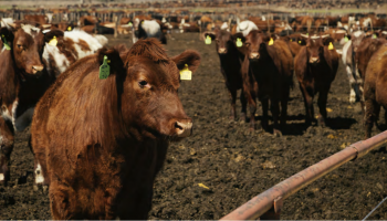 UW Extension publication examines fall feeder cattle price slide