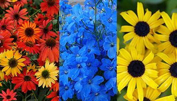 red-orange, blue, and yellow flowers