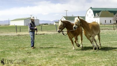 Haflingers Pistol and Pete running in circles around a trainer.