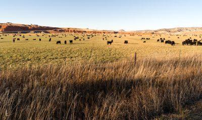 Cattle in pasture.