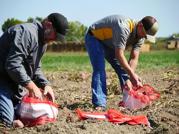 Two men bagging potatoes